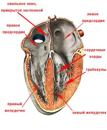 схема человеческого сердца