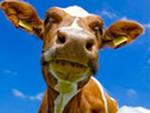 коровье молоко ребенку